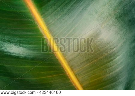Closeup of a rubber plant leaf background