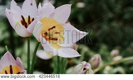 Blooming Tulipa humilis in the wild