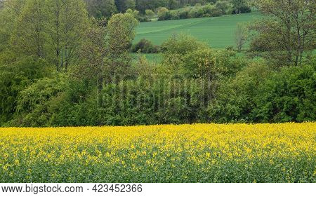 View Over A Hilly Landscape In Swabian Alb In Germany With Shrubs And A Yellow Flowering Field Of Oi