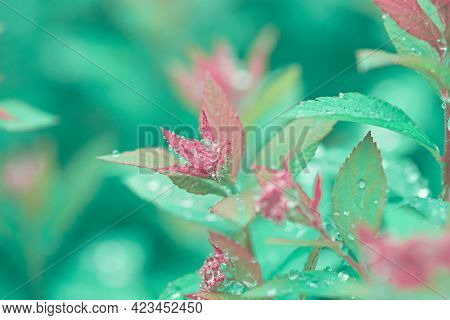 Beautiful Lush Foliage In Rain Drops In A Spring Garden. Leaves Are Turquoise And Pink. Dreamlike Na