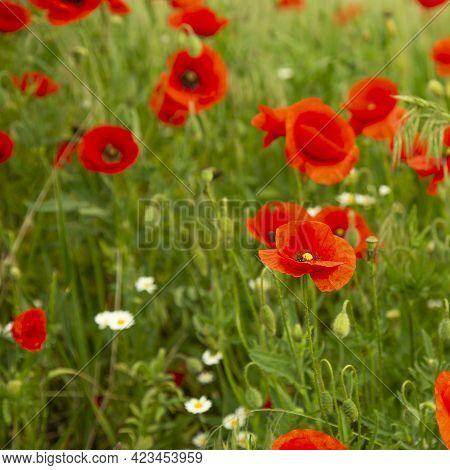 Field Poppies Are Blooming. Meadow Flowers Grow In The Meadow. Lots Of Poppies In The Field.