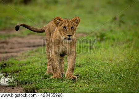 Lion Cub Stands On Grass Flicking Tail