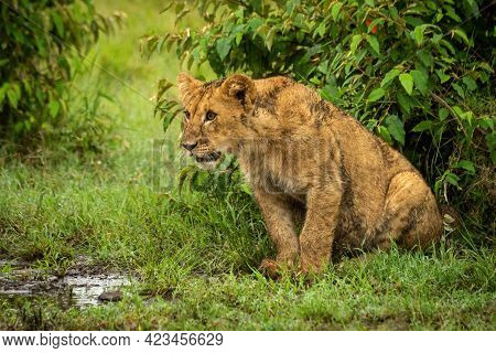 Lion Cub Sits By Bushes Staring Left