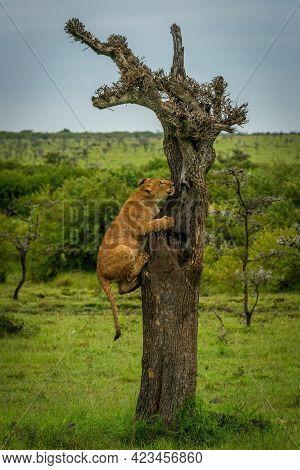 Lion Cub On Dead Tree In Grassland