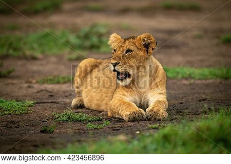 Lion Cub Lying Down With Mouth Open