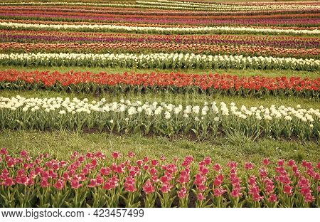 Fresh Flowers. Stunning Spring Colors. Best Places To See Tulips In Netherlands. Tulip Fields Colour