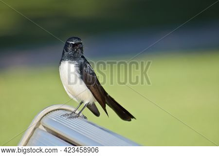 A Closeup Shot Of A Cute Willie Wagtail Bird Perched On A Bench