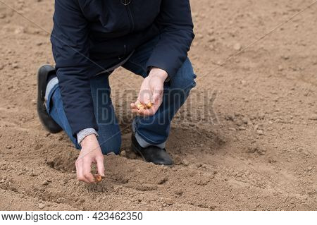Elderly Woman Planting Fresh Seeds Of Onion On Ground In Vegetable Garden At Spring Close Up. Season