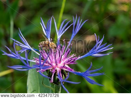 Wild Bee On A Flower Bachelor Button