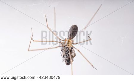 Macro Photography Of A Long-legged Spider (phalangium Opilio). A Spider In Its Web Eats A Fly Wrappe