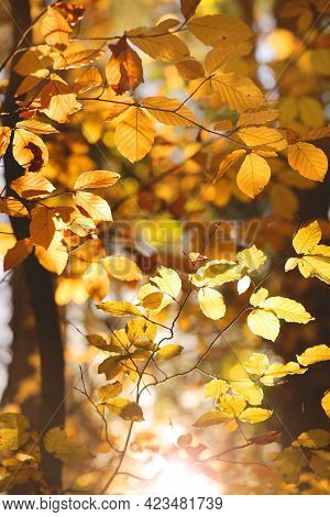 Autumn Season. Branches Of Trees With Yellow And Brown Leaves And Sunbeams. Autumn Beautiful Sunny B