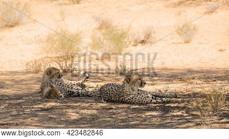 Cheetah Female With Two Cubs Lying Down In Shadow In Kgalagadi Transfrontier Park, South Africa ; Sp