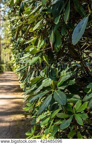 Vertical Photo Of Green Rhododendron Hedge At Right Side Of Pathway Leading To The Pine Tree Forest.