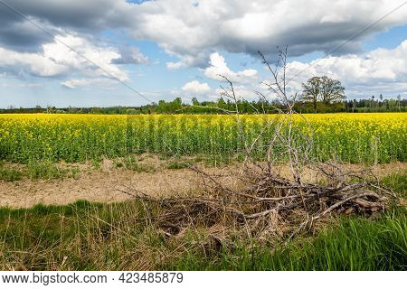 Fallen Dead Branch A Front Of Field Of Bright Yellow Oil Seed Rape Plants Having A Tree, Forest And