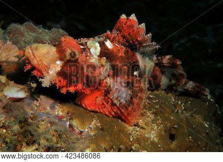 A Bearded Scorpionfish Resting On Corals Cebu Philippines