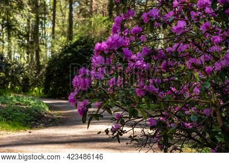 Pink Rhododendron Blooming At Right Side Of Pathway Leading To The Pine Tree Forest. Hedgerow Of Pin