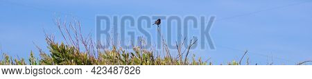 Panoramic Shot Of African Stonechat Bird Perched On A Green Bush Branch Over A Clear Blue Sky Backgr