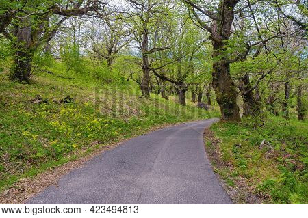 Grove Of Sweet Chestnut Trees ( Castanea Sativa ) In Spring. Country Road. Montenegro, Bar