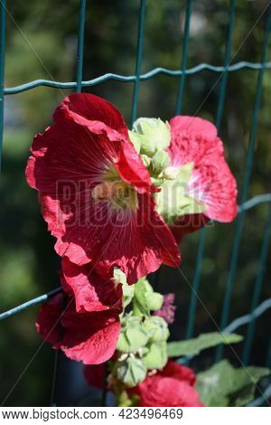 Big Red Delicate Flowers Of Mallow In Bloom With Green Leaves And Buds Closeup, Summer Flowers Backg