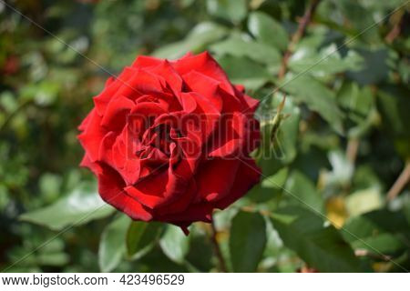 Big Red Rose Close Up. Deep Red Color. Big Beautiful Red Rose Flower With Buds. Delicate Rose Petals