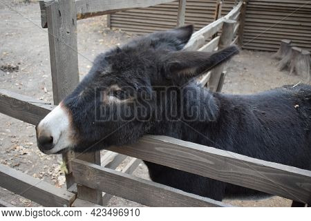 Curious Donkeys On A Farm. Donkey Pose For The Camera