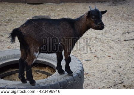 Little Goat Kid Standing On A Tire In A Farm. A Brown Goat Kid Is Standing On A Tire At A Contact Zo