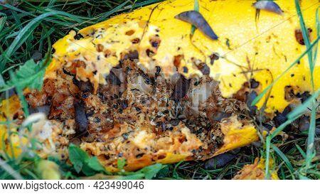 Slugs Crawl And Eat Zucchini Lying In The Grass. Pests Spoil Crops, Zucchini. The Fight Against Slug
