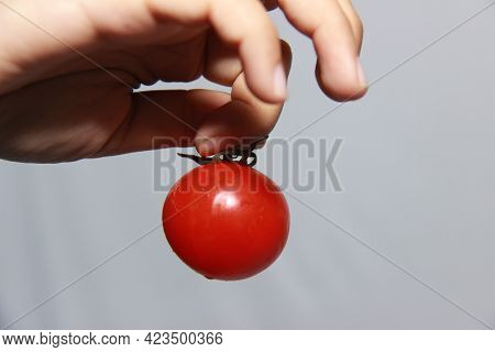 Female Hand Holding Fresh Red Tomato. Fresh Harvested Tomatoes Are Ready To Be Cooked Or Sold In The