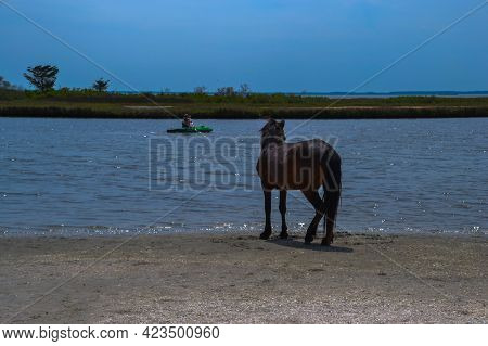 Wild Black Stallion Protects His Band Members Grazing Nearby As He Tracks A Kayaker Passing By At Ch