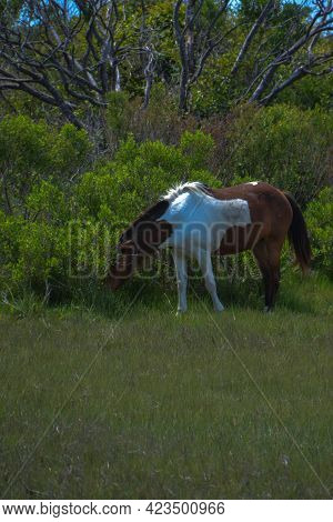 Wild Brown And White Horse Feeds On Cordgrass And Beach Grass Under A Sprawling Tree By Chesapeake B