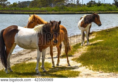 Three Wild Stallions, One Beige Colored With A Lighter Beige Mane And Two Brown And White Colored Wi