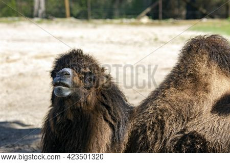 Bactrian Camel Camelus Bactrianus Of Sunny Day In The National Par