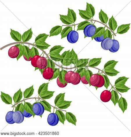 Plum Branch With Leaves And Ripe Bright Purple And Blue Fruits, Vector Illustration