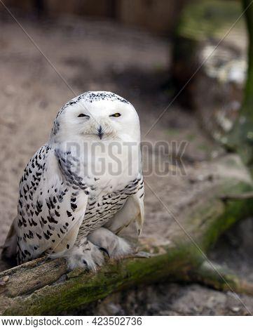 White Snowy Owl Bubo Scandiacus - Beautiful Arctic Bird, Vulnerable Animal Specie From Eurasia