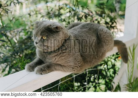 A Grey Shotlad Cat Sits On A Fence On The Terrace. A Beautiful Cat With A Green Collar From Parasite