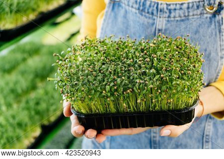 Woman Holding Box With Microgreen, Small Business Indoor Vertical Farm. Close-up Of Healthy Vegetari