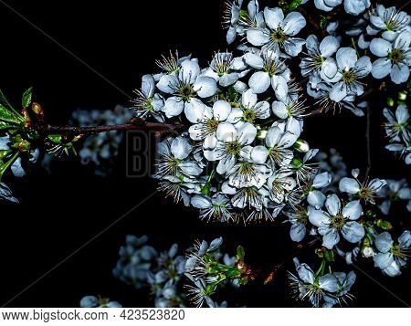 Blooming Cherry Flowers In The Night Darkness. Cherry Blossoms. Agricultural Orchard. White Flowers.