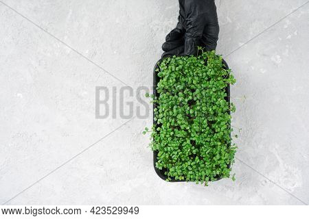 Microgreen Sprouts In A Tray. Chef Hand Wearing Black Gloves Holds A Microgreen Tray.