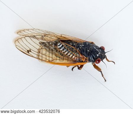 Brood X Cicada Isolated on White Background