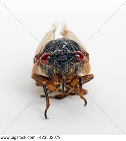 Extreme Macro of Dying Cicada Brood X Face
