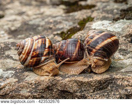 Group Of Edible Snails Or Escargot (helix Pomatia) On A Rock.