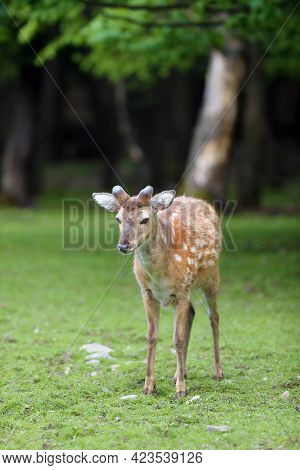 The Fallow Deer (dama Dama), A Young Male With Budding Antlers In The Summer Forest. Young Deer With