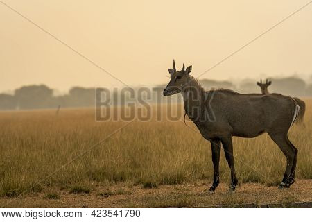 Male Nilgai Or Blue Bull Or Boselaphus Tragocamelus A Largest Asian Antelope Side Profile In Open Fi
