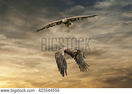 Two European Sea Eagles Flying In A Brown And Yellow Dramatic Sky. Birds Of Prey In Flight. Flying B
