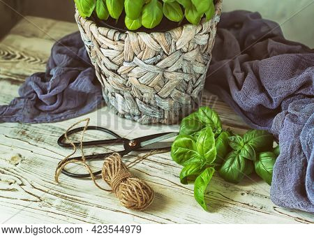 Basil Leaves, Garden Scissors, A Coil Of Rope And A Pot Of Basil On A Wooden Background, Toned.