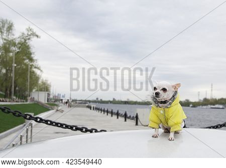 A Chihuahua Dog Sits In A Warm Yellow Jacket On The Embankment Of The River And Proudly Looks To The