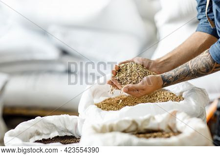 Master Brewer Checks Barley Seeds Before Introduced Into Brewing System