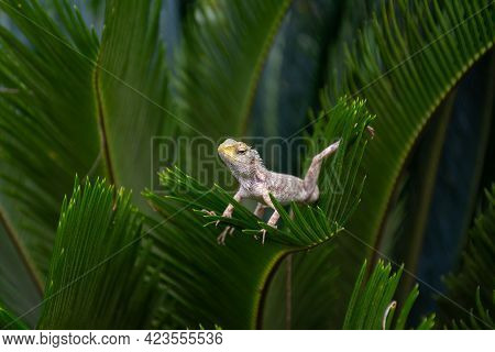 Close-up Of An Indian Garden Lizard (calotes Versicolor), Posing On A Leaves Of A Plant In The Garde