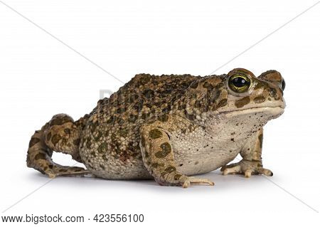 Bufo Boulengeri  Aka African Green Toad, Sitting Side Ways. Looking Towards Camera. Isolated On A Wh