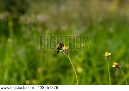 The Great Animals Name Is Bee That Sit On Hairy Galinsoga Or Coatbuttons Flower To Collect Honey And
